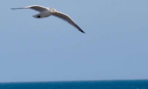 85 CCFFA seagull